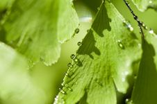 Green Leaf With Drops Of Water Stock Photography
