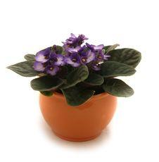 Free Violet Stock Photo - 8906700