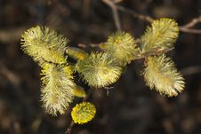 Free Willow In Spring Stock Images - 8908354