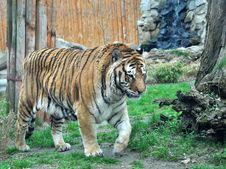 Free Bengal Tiger Royalty Free Stock Photo - 8908455