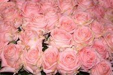 Free Bed Of Pink Roses Royalty Free Stock Photography - 8908527