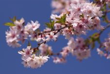 Free Cherry Blossom Royalty Free Stock Photo - 8908575