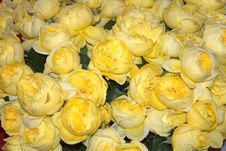 Free Bed Of Yellow Roses Stock Images - 8908584