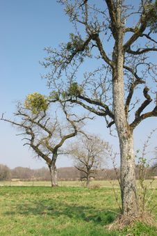 Old Bare Trees Royalty Free Stock Photos