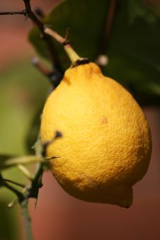 Free Mediterranean Lemon Tree Stock Images - 8908674