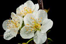 Free Spring Bloom Stock Image - 8908981