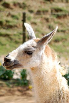 Free Llama Royalty Free Stock Images - 8909119