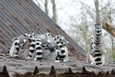 Free Lemurs Stock Photos - 8909323