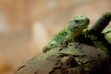 Free Lizard Royalty Free Stock Photo - 8909325