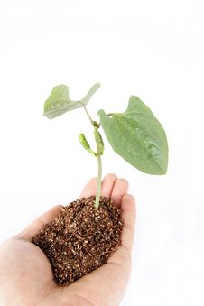 Free Seedling Royalty Free Stock Photography - 8909697
