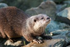 Free Otter Stock Images - 8909714