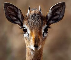 Free Close-up Portrait Of A Antelope Royalty Free Stock Images - 89059409