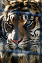 Free Tiger Stock Image - 8914411