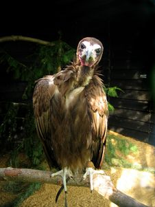 Free Perched Vulture Royalty Free Stock Photography - 8911577