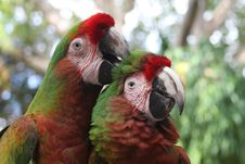 Free Parrot Couple Royalty Free Stock Images - 8911689