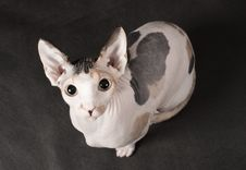 Young Sphinx Cat Stock Images