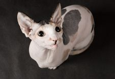 Young Sphinx Cat Royalty Free Stock Image