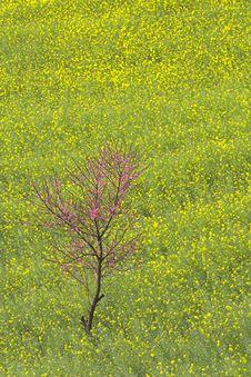 Free Rape Flower Field Of Luoping Royalty Free Stock Image - 8912636