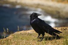 Free Common Raven Royalty Free Stock Images - 8912919