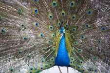 Free Beautiful Peacock Royalty Free Stock Photo - 8913495