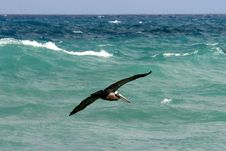 Flying Brown Pelican Stock Images