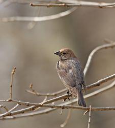Free Brown-headed Cowbird Stock Photo - 8914680