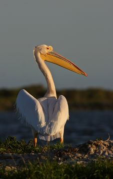 Free Great White Pelican Royalty Free Stock Photography - 8914757
