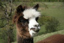 Free Cheeky Alpaca Stock Photo - 8915300