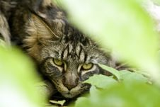 Free Maine Coon Stock Image - 8915651