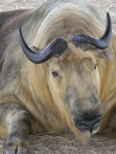 Free Sichuan Takin Royalty Free Stock Images - 8919119