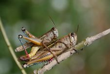 Free Grasshoppers Couple Royalty Free Stock Images - 8919819