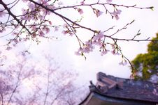 Free Cherry Blossoms Royalty Free Stock Photos - 89130098