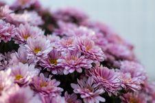 Free Pink Chrysanthemum Flowers In Bloom Royalty Free Stock Photography - 89193857