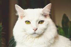 Free Portrait Of White Cat Royalty Free Stock Image - 89193966