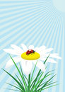 Free Ladybug On Camomile Stock Photo - 8923820