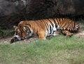 Free Sleeping Tiger Stock Image - 8925601