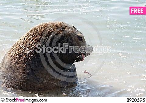 Free Northern Sea-lion (Eumetopias Jubatus) Royalty Free Stock Photo - 8920595