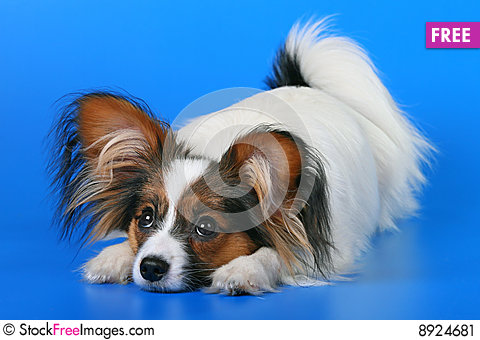 Free Young Papillon Stock Image - 8924681