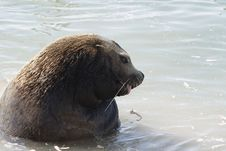 Northern Sea-lion (Eumetopias Jubatus) Royalty Free Stock Photo
