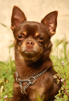 Free Chocolate Chihuahua Stock Photo - 8921450