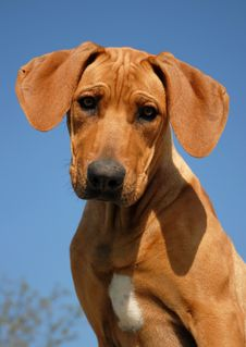 Free Puppy Rhodesian Ridgeback Royalty Free Stock Photos - 8921528