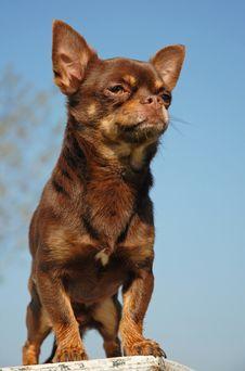 Free Chihuahua Royalty Free Stock Image - 8921766