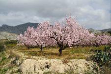 Free Almond Trees Stock Photo - 8922200