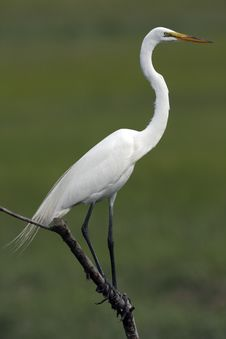 Free Great Egret Stock Photo - 8922580