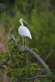 Free White Ibis Stock Images - 8922644
