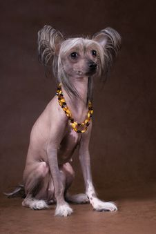 The Chinese Crested Dog Royalty Free Stock Photo