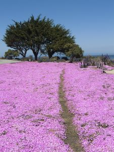 Free Coastal Path Through Pink Flowers Royalty Free Stock Photos - 8926108