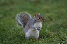 Free Hyde Park Squirrel At Look-out Stock Image - 8926261