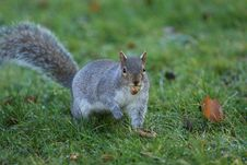 Free Hyde Park Squirrel Eating A Nut Stock Photos - 8926273