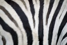 Free Zebra Stripes Stock Photo - 8926510